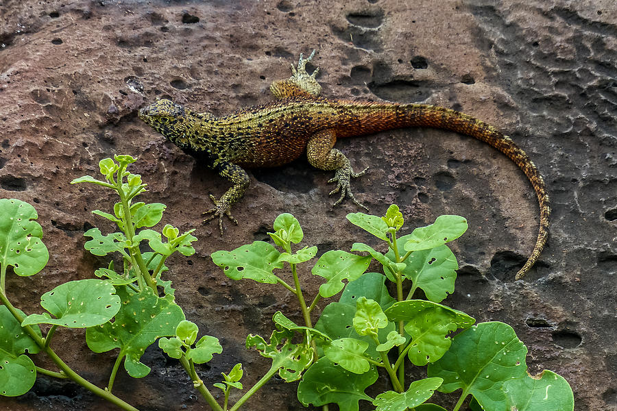Espanola Photograph - Espanola Lava Lizard by Harry Strharsky