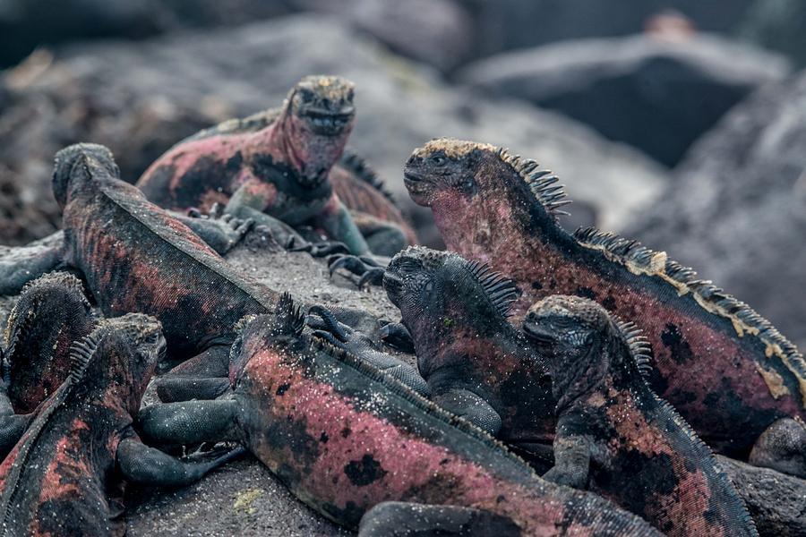 Espanola Photograph - Espanola Marine Iguanas by Harry Strharsky