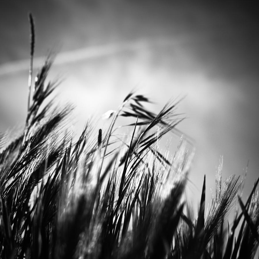 Spikes Photograph - Espigas by Felix M Cobos