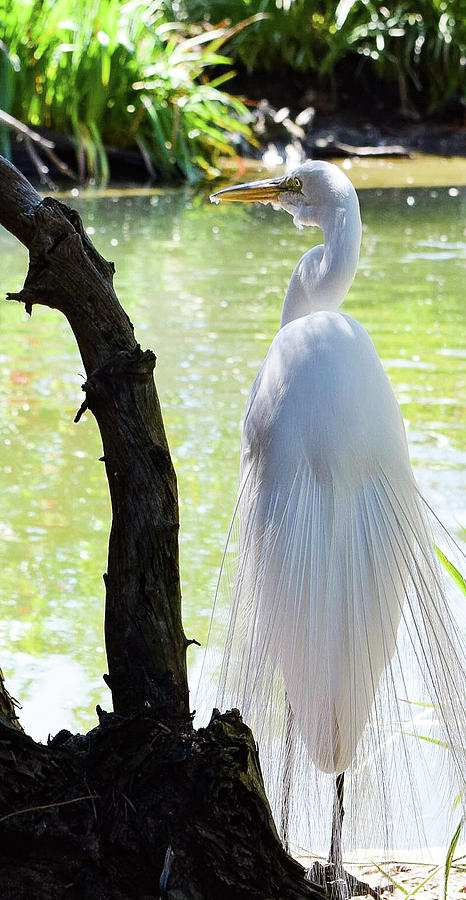 Egret Photograph - Ethereal Snowy Egret by Gloria Moeller