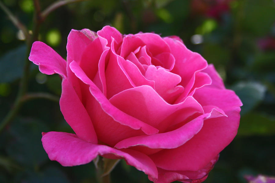 Rose Photograph - Etherial Rose by JoDee Luna