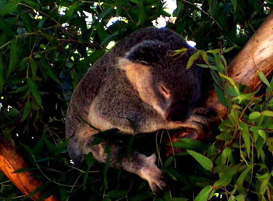 Koala Bears Photograph - Eucalyptus Daze by Douglas Kriezel