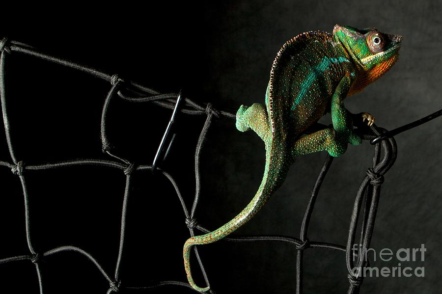 Chameleon Photograph - Eugene by Darcy Evans