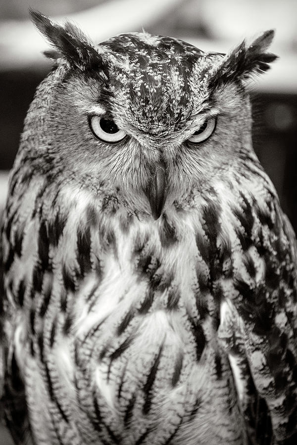owl eagle eurasian weber dotty wes photograph bird 18th uploaded august which