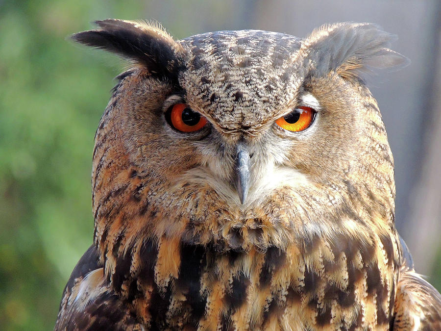 Eurasian Eagle Owl by Krin Van Tatenhove