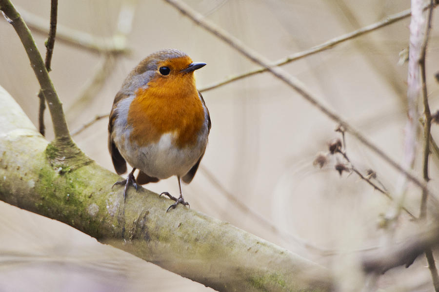 Yorkshire Photograph - Eurasian Robin by Andy Beattie Photography