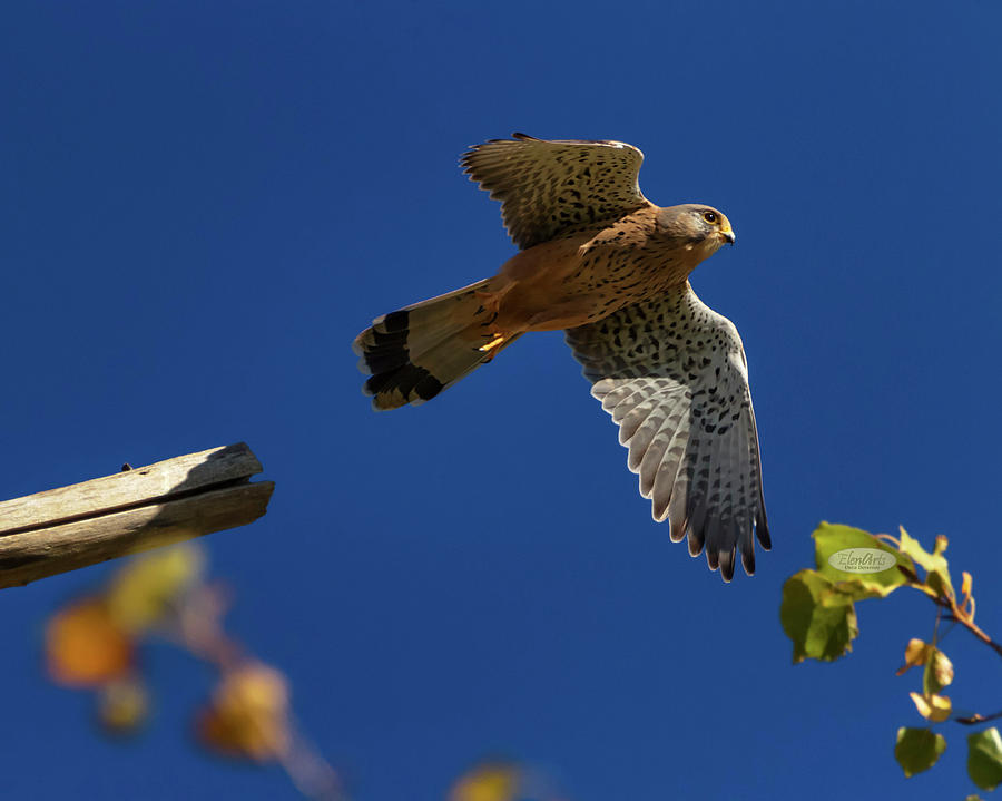 European, eurasian, common or old world kestrel, falco tinnuncul by Elenarts - Elena Duvernay photo