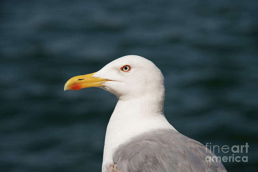 Princes Islands Photograph - European Herring Gull Portrait by Bob Phillips