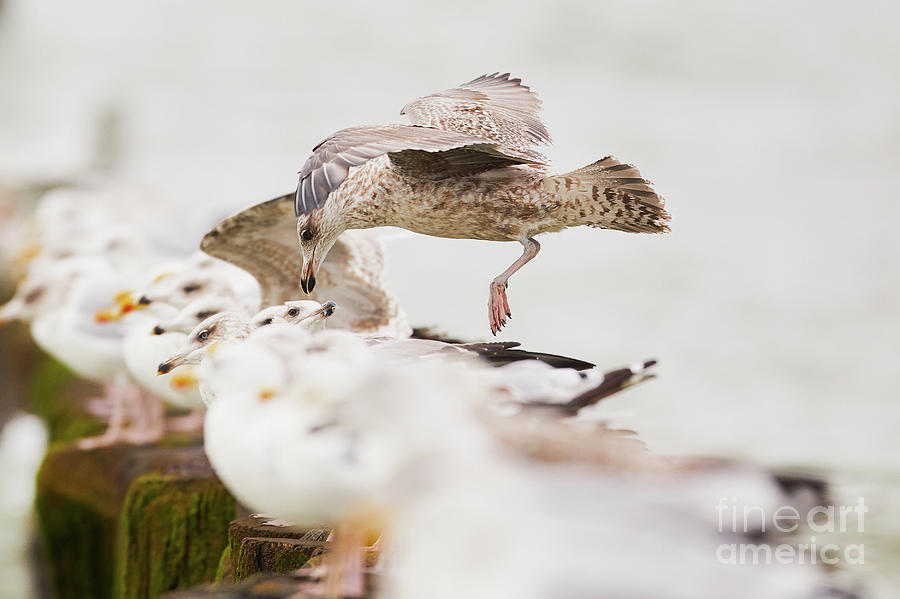 European herring gulls in a row, a landing bird above them by Nick Biemans