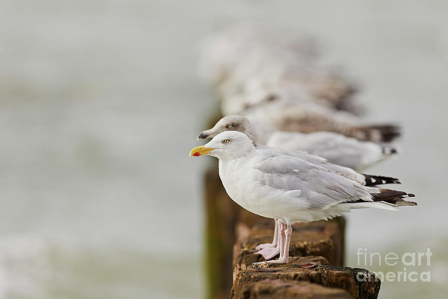 European herring gulls in a row fading in the background by Nick Biemans