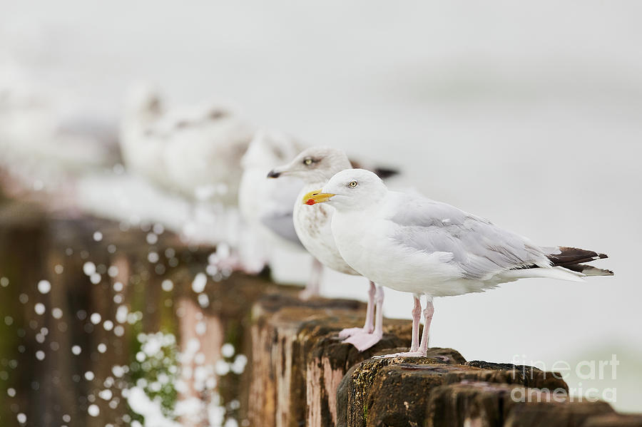 European Herring gulls in a row  by Nick Biemans