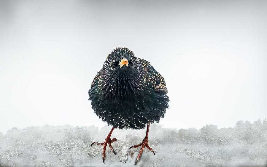 European Starling in the snow by Patrick Wolf