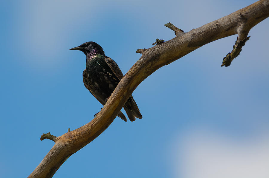 European Starling Photograph - European Starlng by Jan M Holden