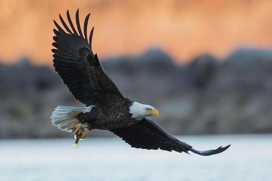 Eagle Photograph - Evening Catch by Rhoda Gerig