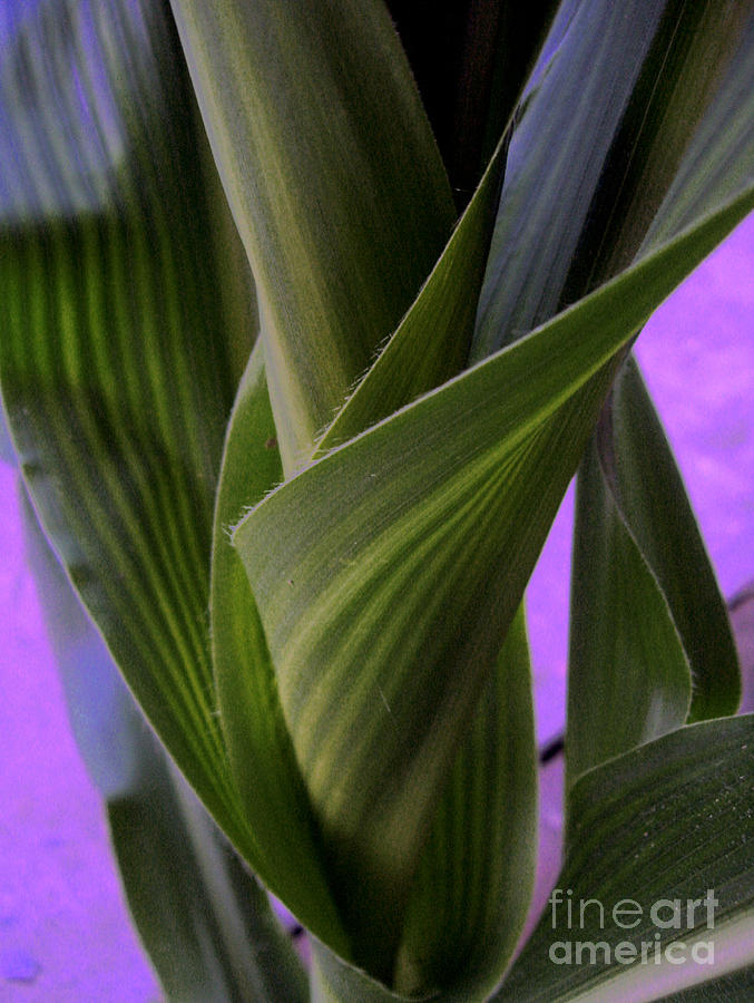 Abstract Photograph - Evening Corn by Jeff Willoughby