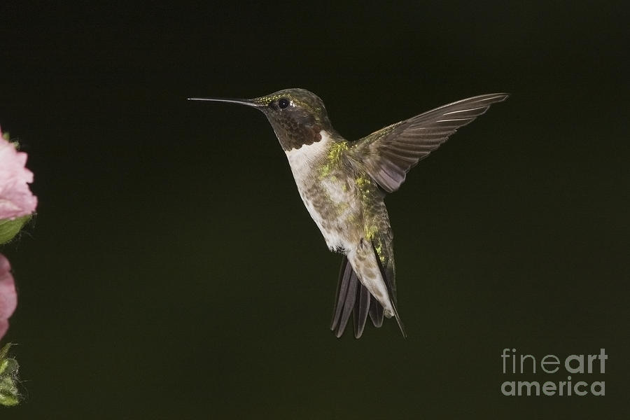Ruby-throated Hummingbird Photograph - Evening Hummer by Michael Greiner