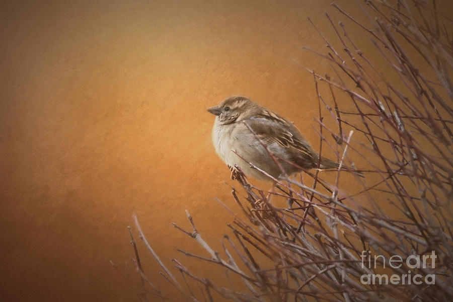 Nature Photograph - Evening Sparrow Song by Sharon McConnell