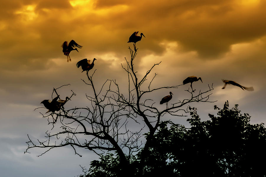 Evening Storks by Cliff Norton
