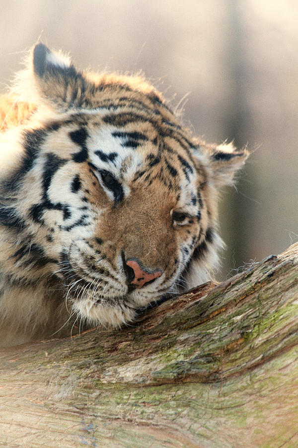 Tiger Photograph - Ever So Gently by Karol Livote