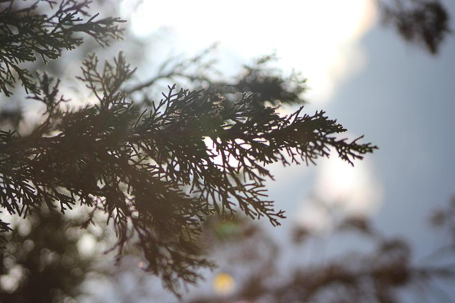 Evergreen Photograph - Evergreen in High Sun by Colleen Cornelius