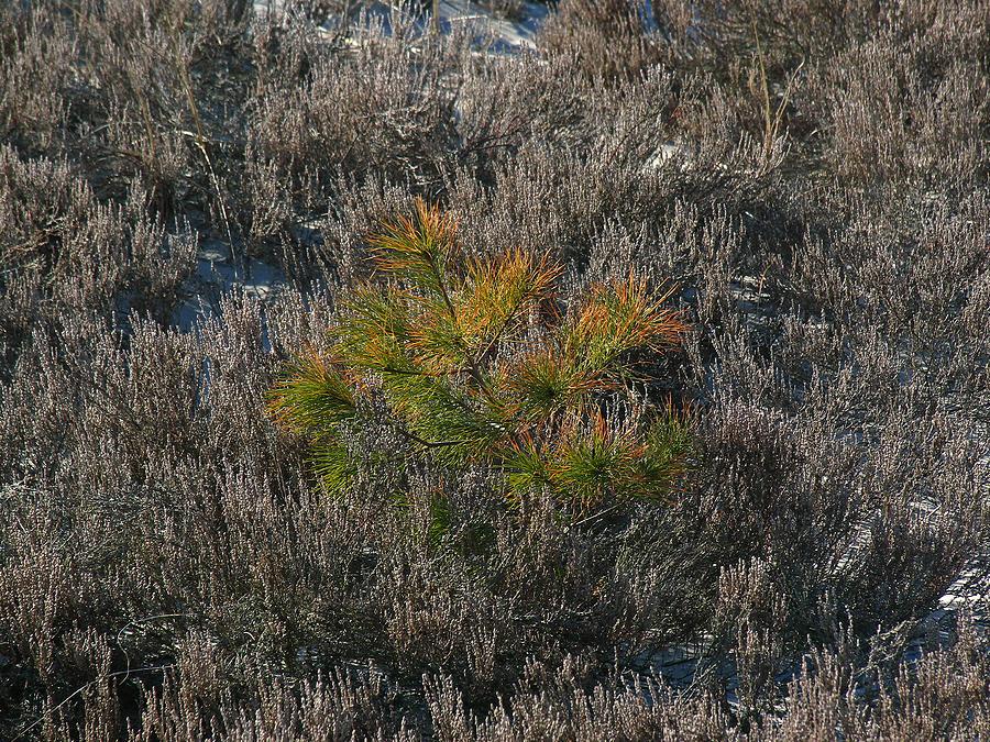 Shrubs Photograph - Evergreen  by Juergen Roth