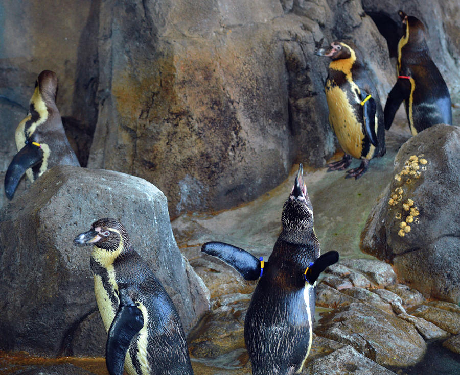 Penguins Photograph - Everybody Sing by Linda Benoit