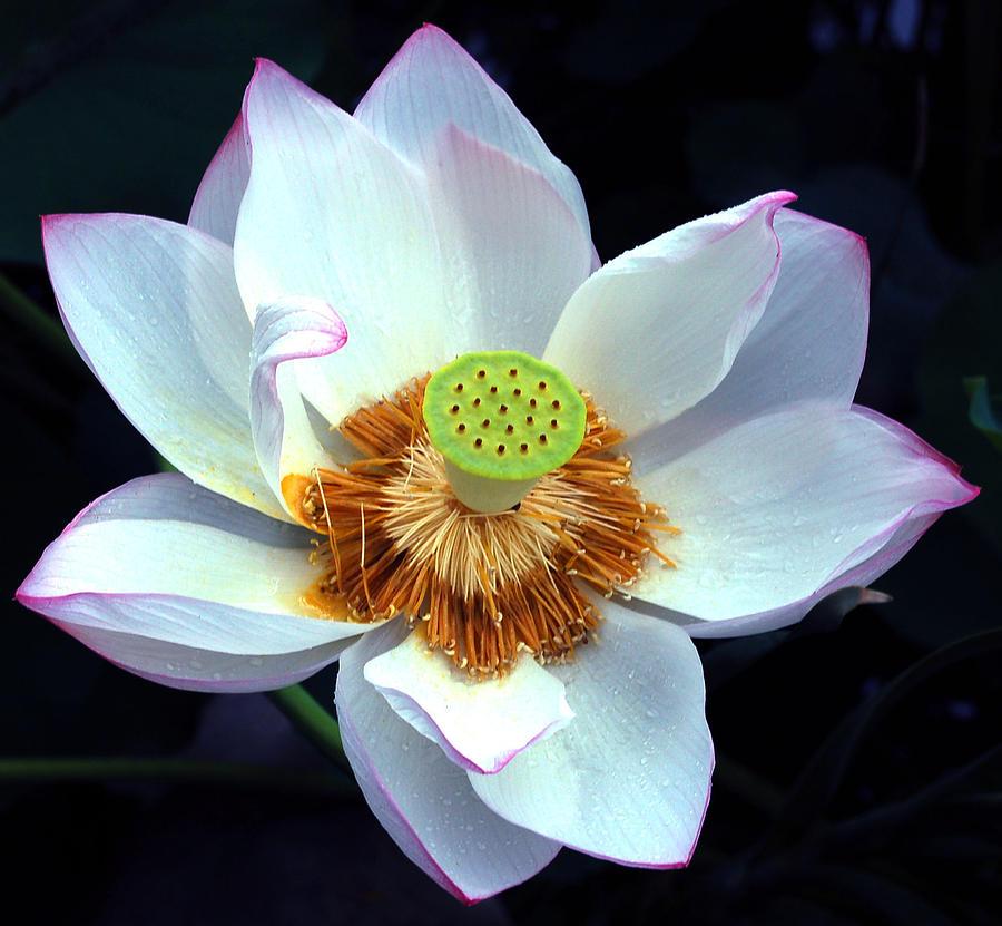 Flower Photograph - Exotic Lotus by Blima Efraim