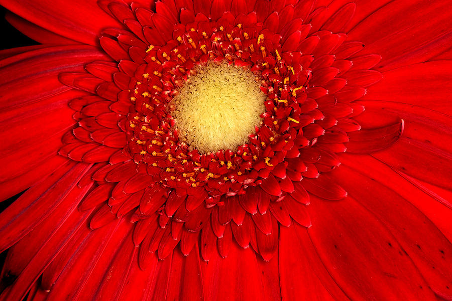 Gerbera Daisy Photograph - Exotic Red Gerbera by Joyce Corley