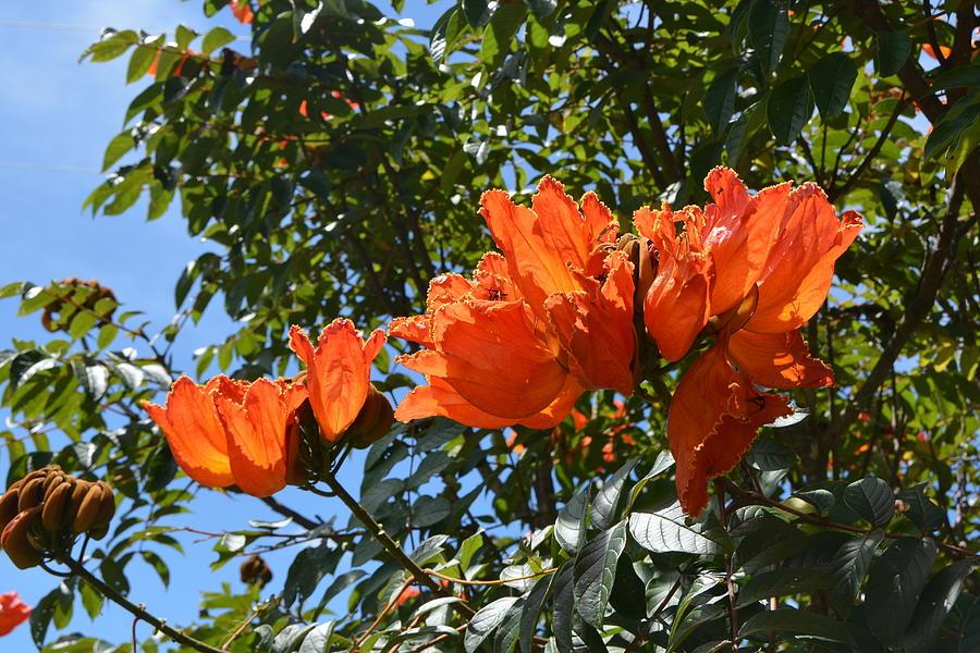 Exotic Tropical Orange Flowers In Honduras Photograph By Carla Parris