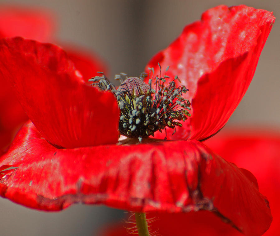 Poppy Photograph - Exposed by Jean Booth