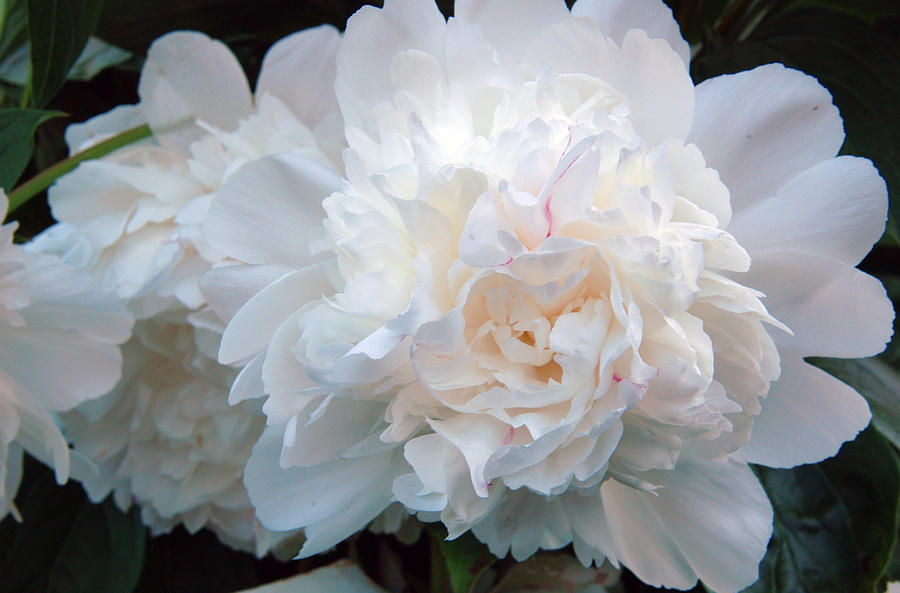Extravagant Peony by Barbara Jacobs