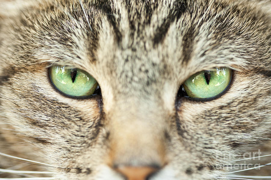 Macro Photograph - Extreme Close Up Tabby Cat by Sharon Dominick