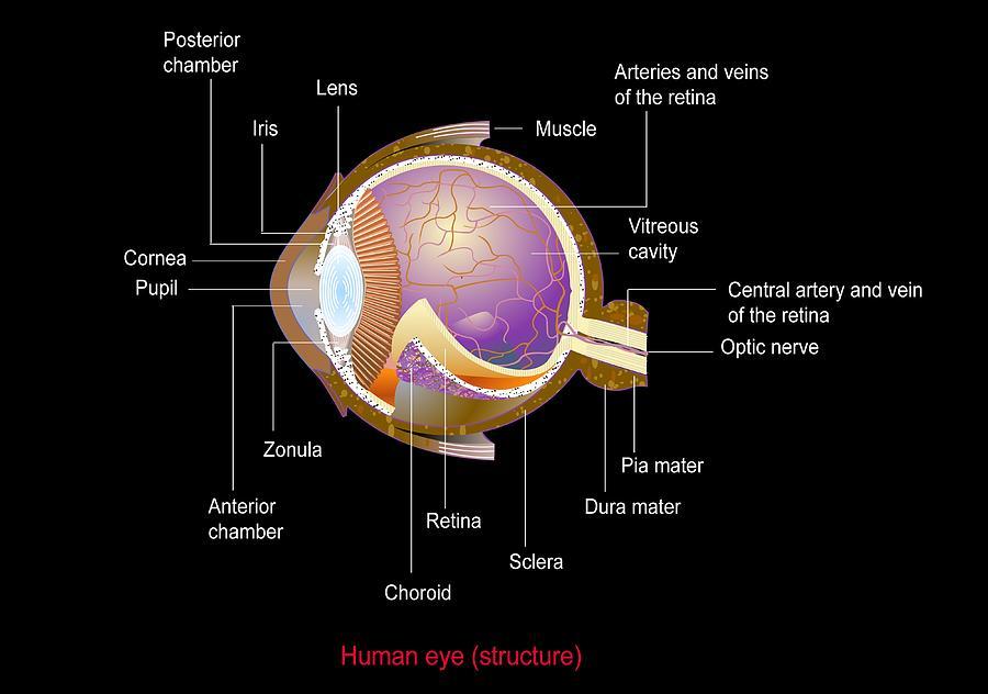 Eye Photograph - Eye Anatomy,artwork by Francis Leroy, Biocosmos