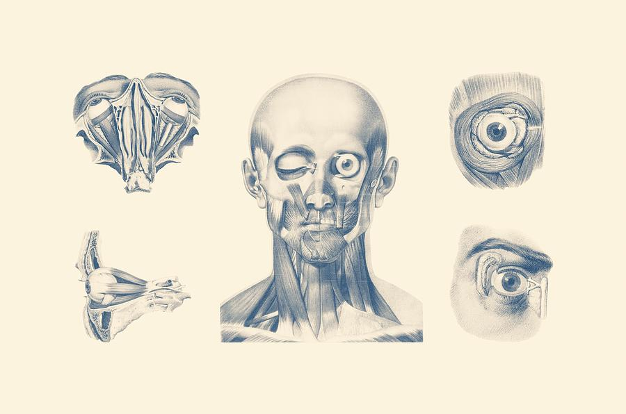 Eye And Facial Anatomy - Multiview Mixed Media by Vintage Anatomy Prints