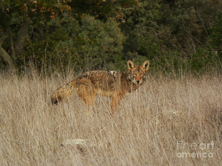 Coyote Photograph - Eye Contact by Robert Ball