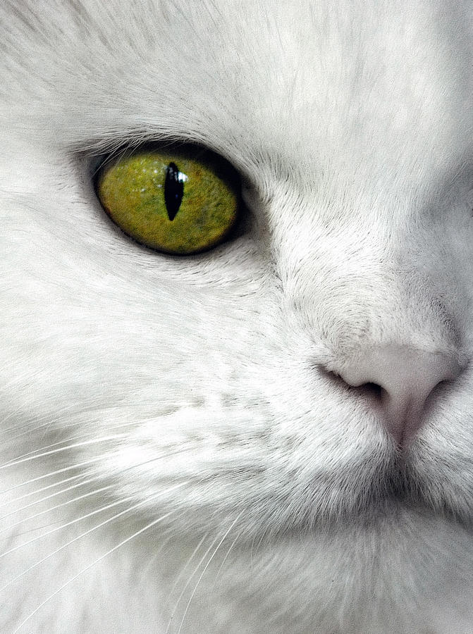Eye Of The Cat Photograph