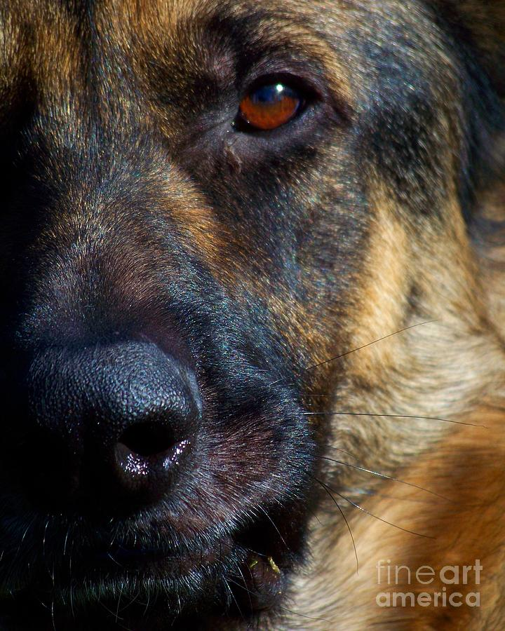 Dog Photograph - Eye Of The Shepherd by Jai Johnson