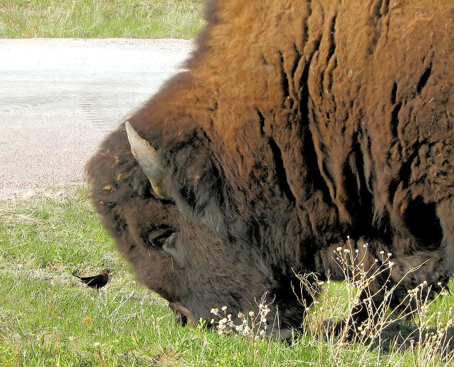 Bison Buffalo Photograph - Eye To Eye Bison And Bird by Marion Muhm