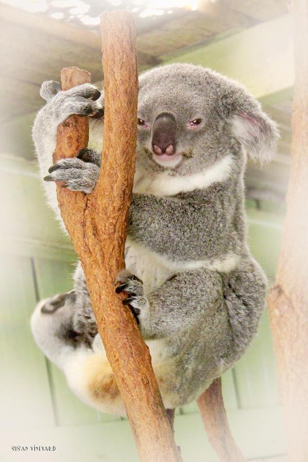 Koala Photograph - Eye To Eye With Mr. Koala by Susan Vineyard
