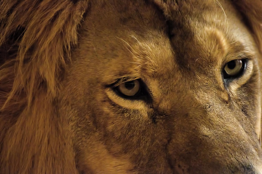 Eyes Of The Lion Color Photograph by Matt Steffen