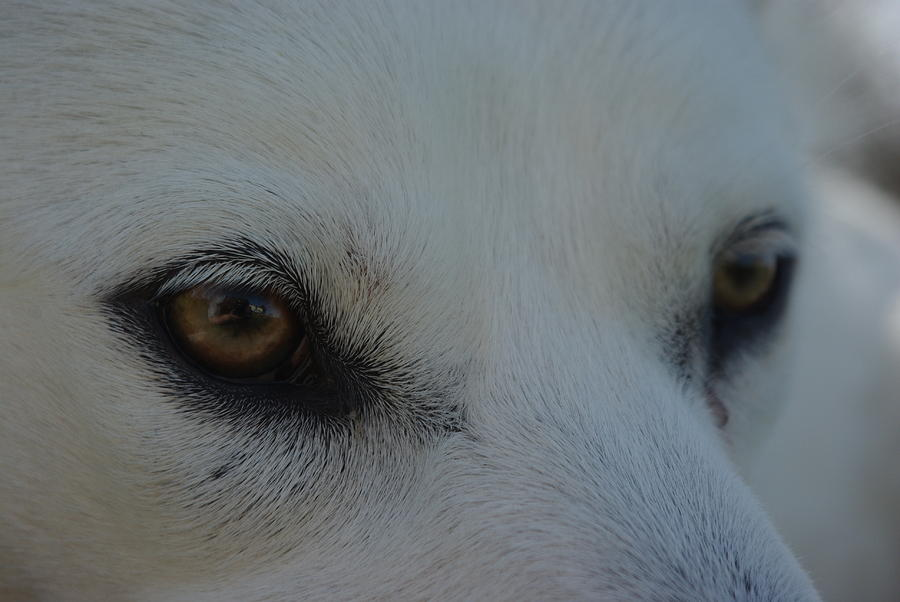 Eyes Photograph - Eyes Of The Wolf - In Her Eyes by Robyn Stacey