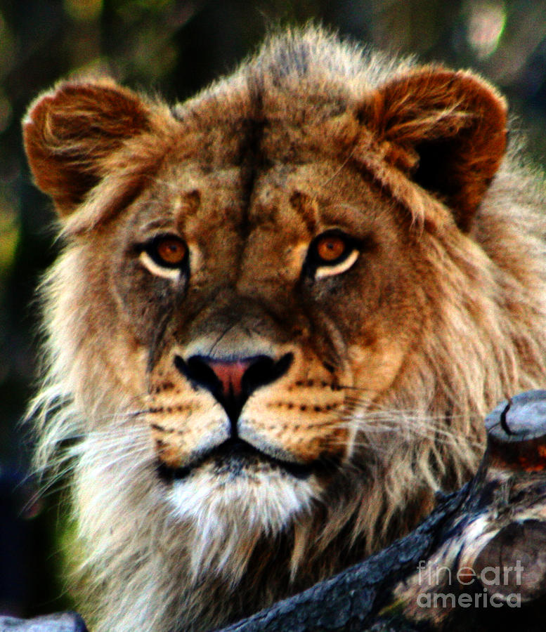 Lion Photograph - Eyes Of The Young King by Nick Gustafson