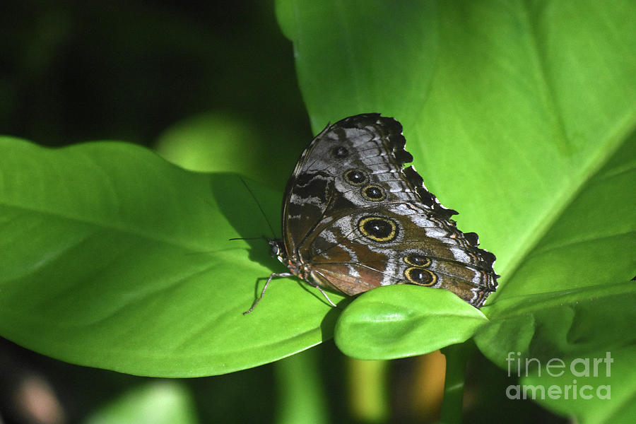 Blue Morpho Photograph - Eyespots On The Closed Wings Of A Blue Morpho Butterfly by DejaVu Designs