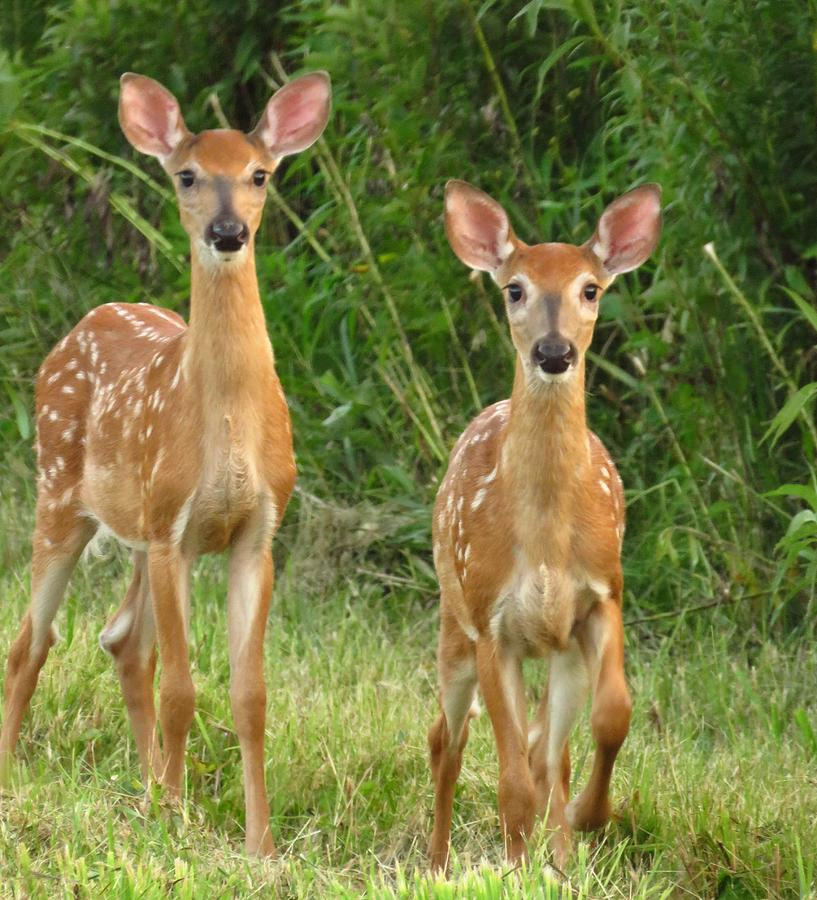 Fawns Photograph - F A W N S  by Lori Frisch