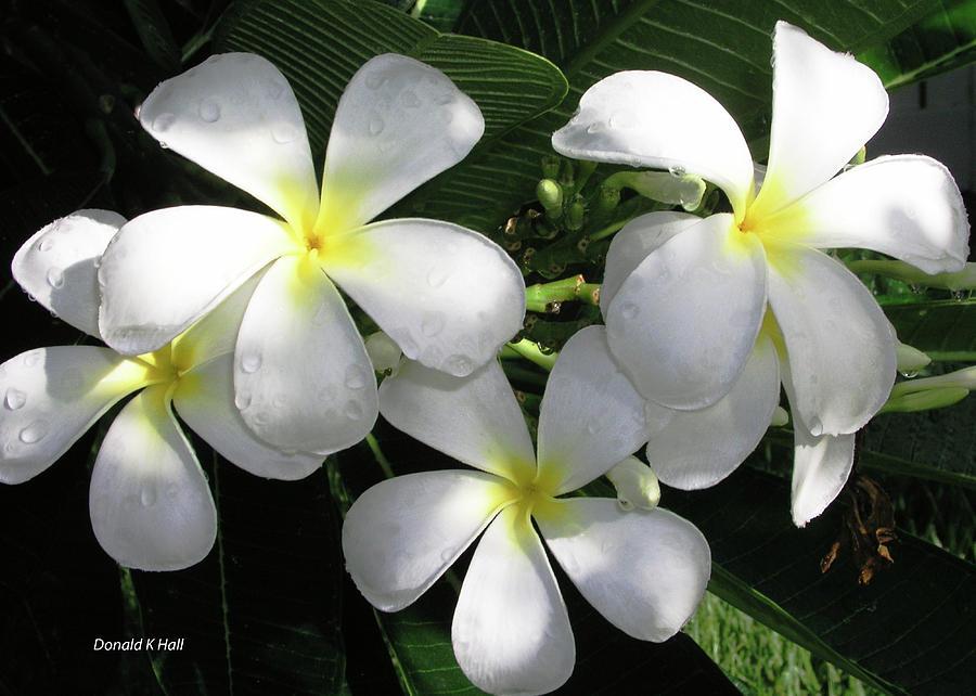 Plumeria Photograph - F1 Plumeria Frangipani Flowers Hawaii by Donald k Hall