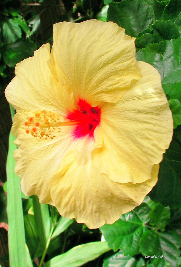 Yellow Hibiscus Photograph - F12 Yellow Hibiscus by Donald k Hall