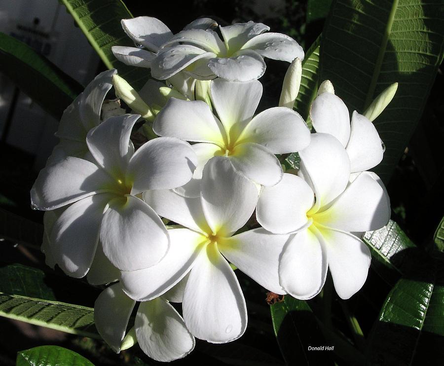 Plumeria Photograph - F13-plumeria Flowers by Donald k Hall