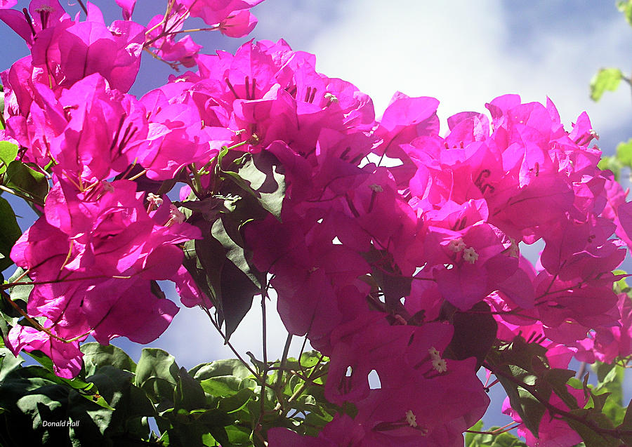 Bougainvilleas Photograph - F15 Bougainvilleas Flowers by Donald k Hall