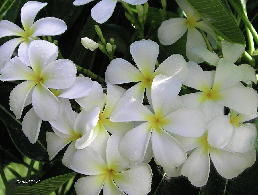 F2 Plumeria Frangipani Flowers Hawaii Photograph by Donald k Hall