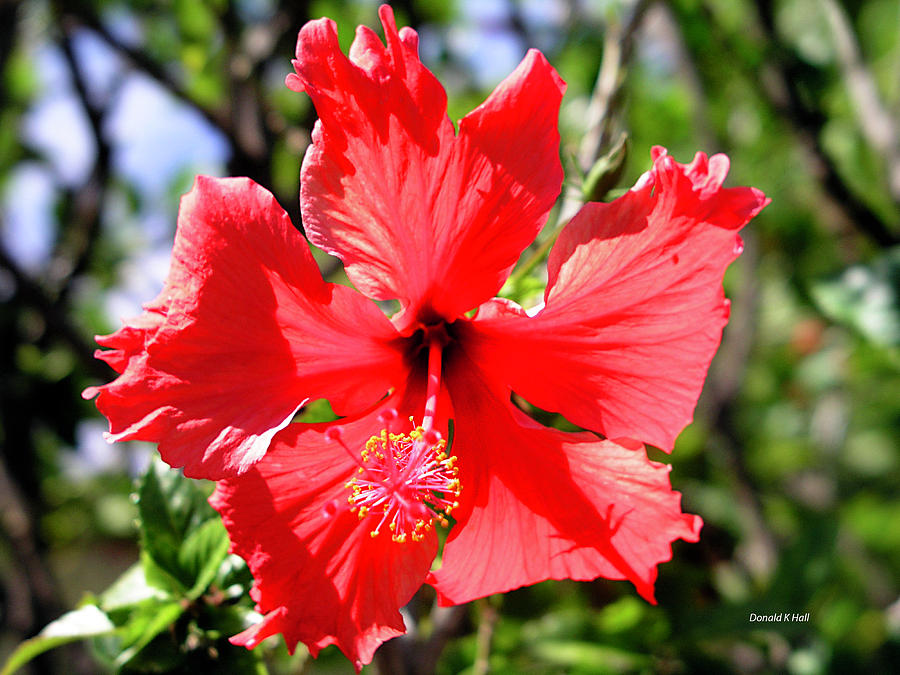 Red Hibiscus Flower Photograph - F20 Red Hibiscus by Donald k Hall